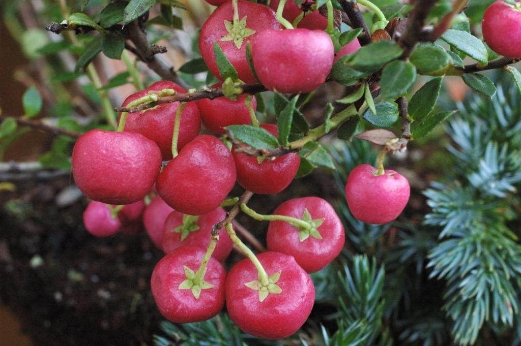 Gaultheria mucronata - deep pink