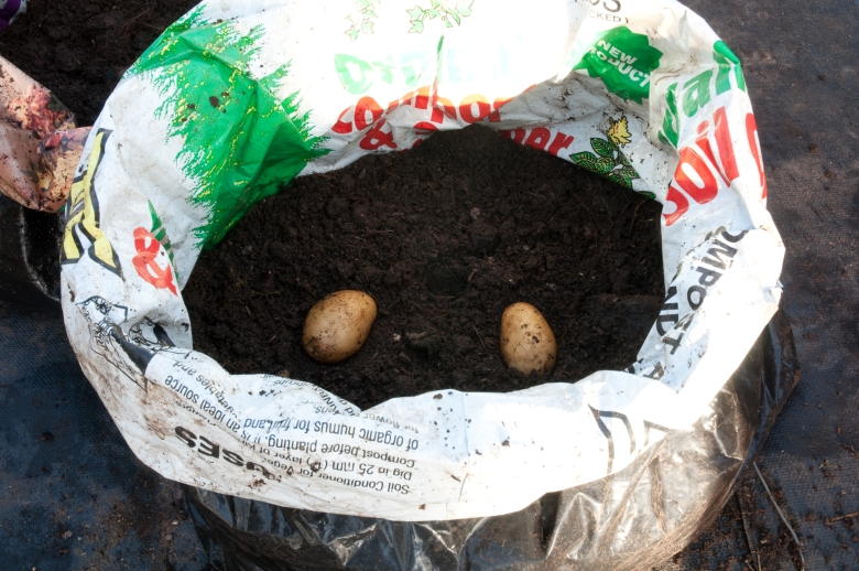 PLANTING POTATOES IN BAGS- TUBERS PLACED ON COMPOST