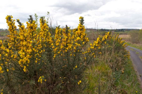 Ulex europeaus; gorse, furze or whin, growing on the road near our house