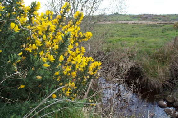 Gorse shrub flowering by the stream that runs behind our garden
