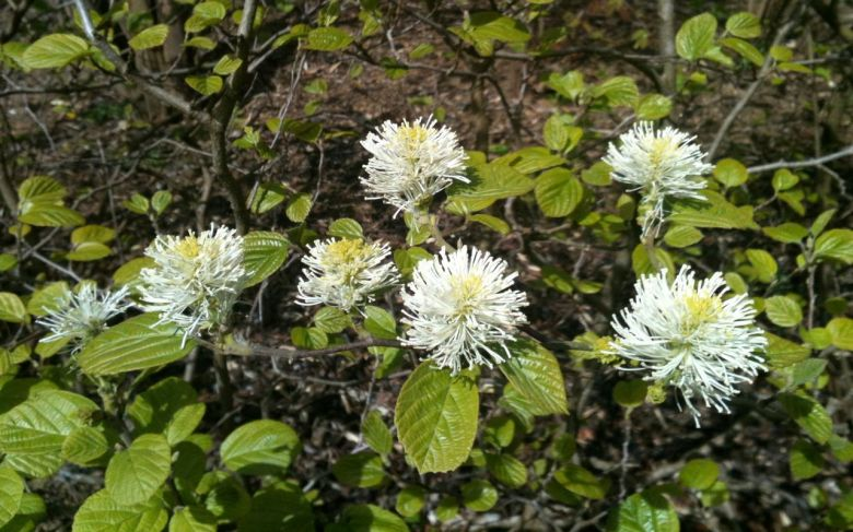 FOTHERGILLA MAJOR FLOWERS