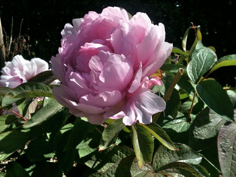 paeonia suffruticosa duchess s de morny blooms 39 n 39 food. Black Bedroom Furniture Sets. Home Design Ideas