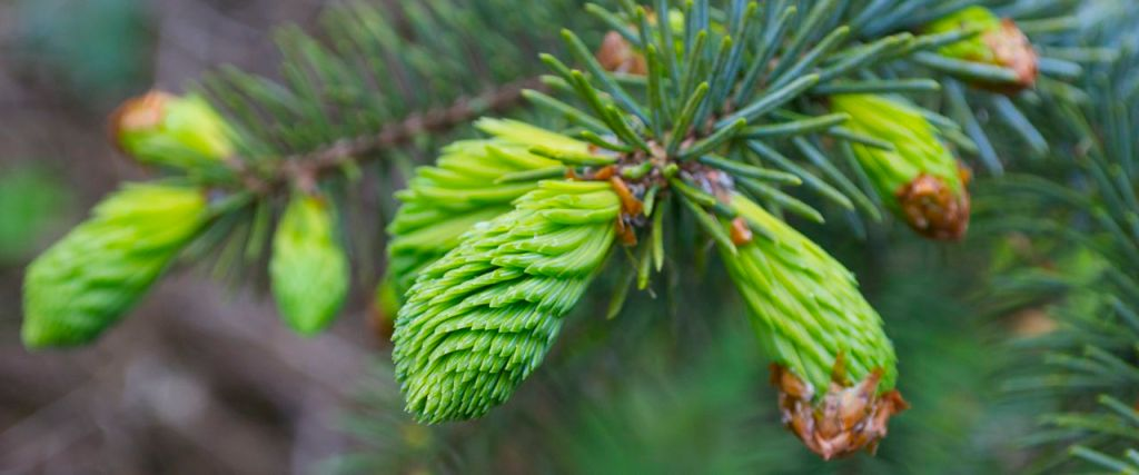 New spruce shoots