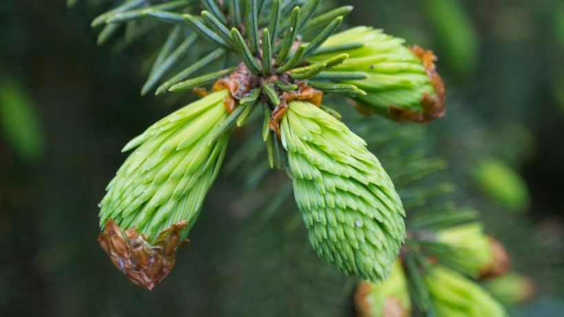 Fresh new growths in May on spruce tree