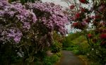 RHODODENDRONS IN BLOOM IN THE WOODLAND GARDEN