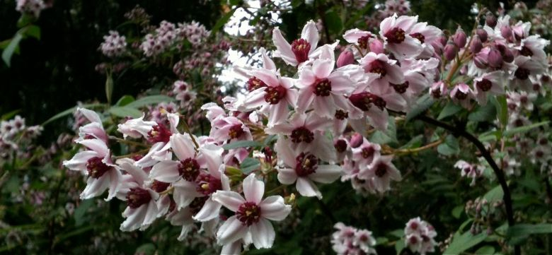 DEUTZIA PURPURASCENS 'ALPINE MAGICIAN'