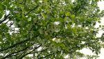 DAVIDIA INVOLUCRATA (HANDKERCHIEF TREE)