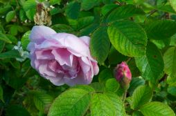 Rosa 'Fru Dagmar Hastrup' - rugosa hybrid and fragrant