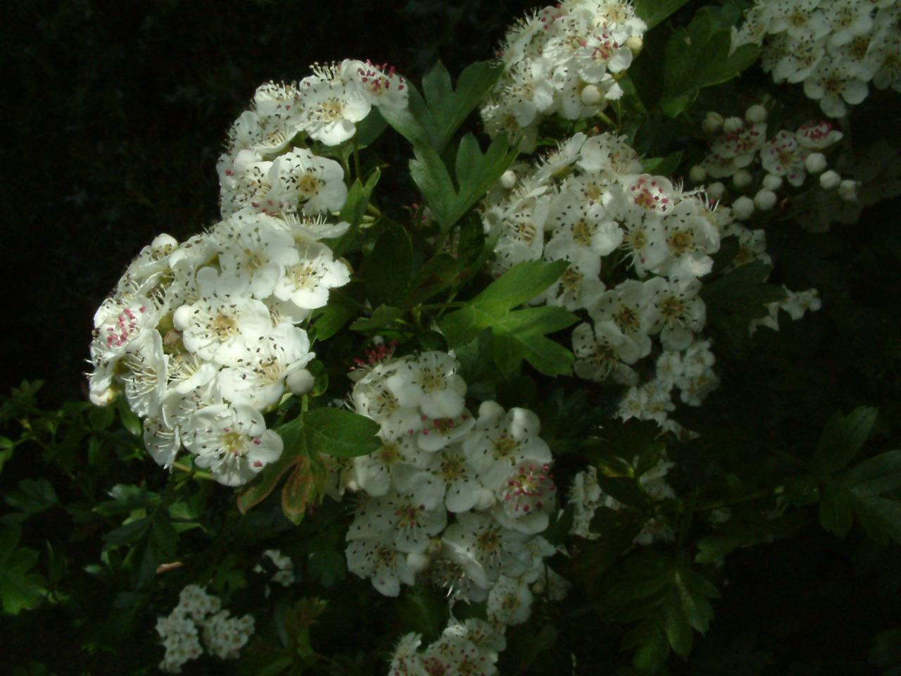 hawthorn berry recipe