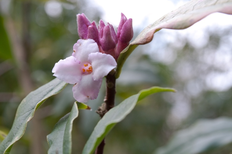 FLOWER AND BUDS OF DAPHNE BHOLUA 'JACQUELINE POSTIL'