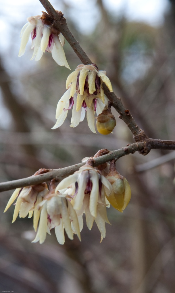 WINTER SWEET CHIMONANTHUS PRAECOX FLOWERS