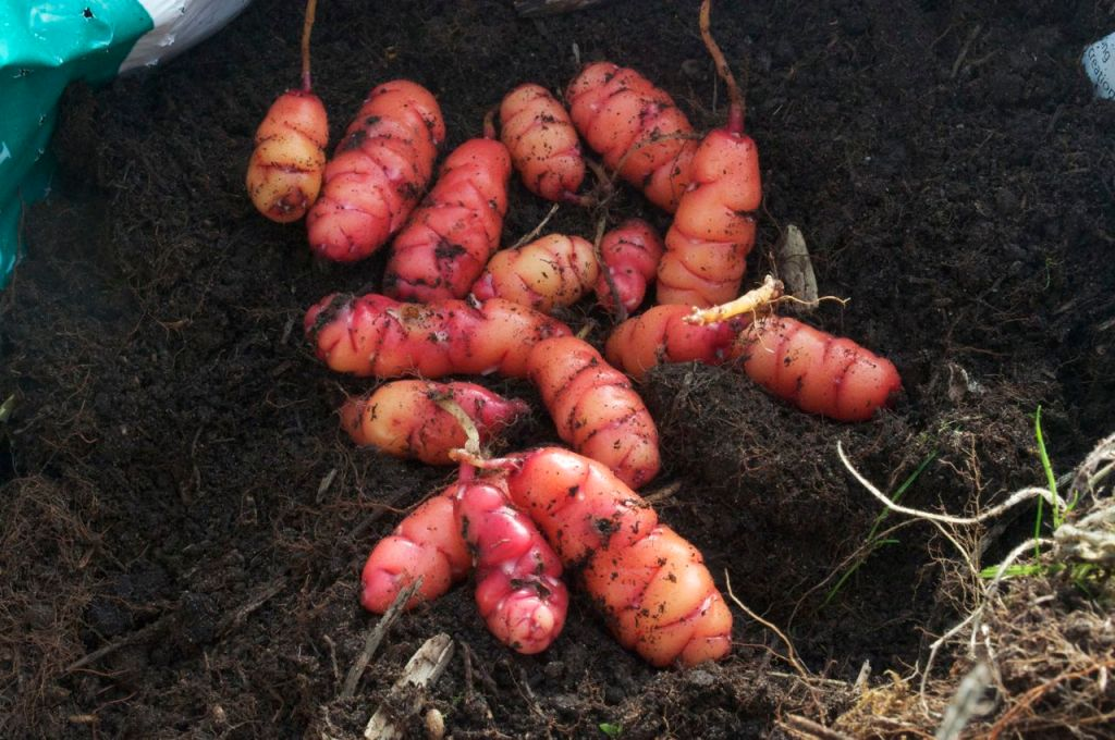 Red oca from one of the bags