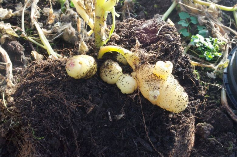 Tubers developing at the base of the plant grown from cuttings
