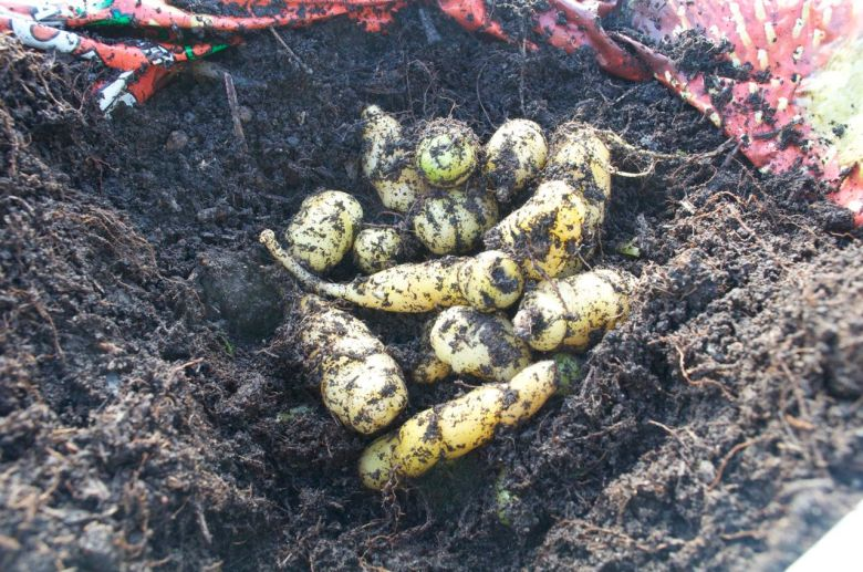 Oca tubers from one of the bags