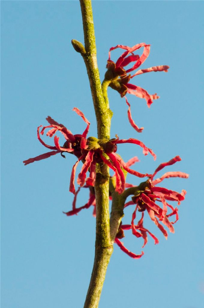 Hamamelis x intermedia 'Ruby Glow'