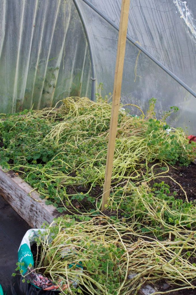 oca plants transferred into other tunnel- the long stems trailed onto the raised bed after the tomatoes had been cleared out