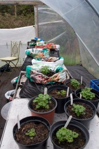 Young Oca plants being potted up into compost bags