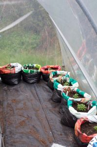 Oca plants potted up