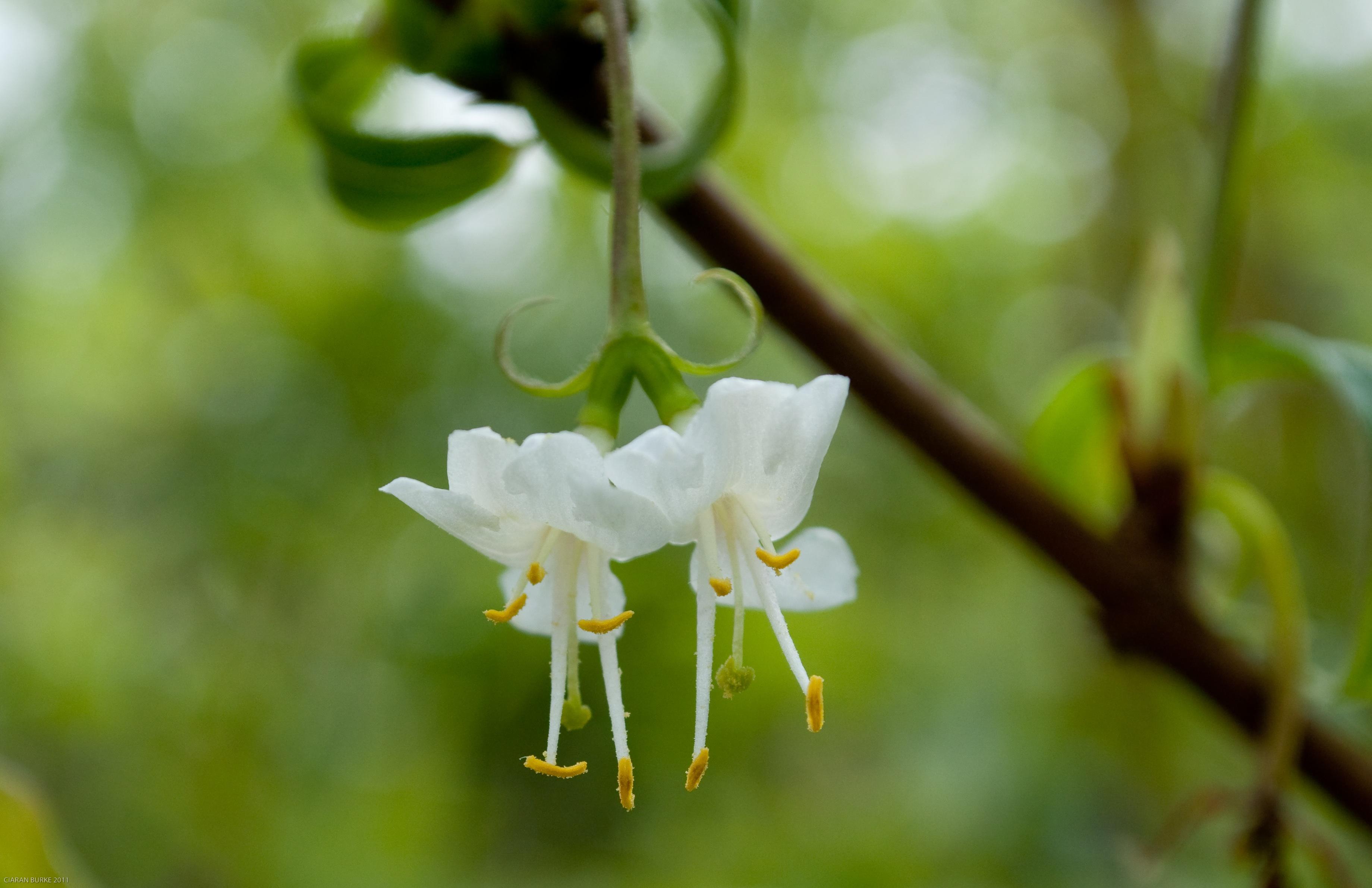 Shrubs that flower in winter blooms n food pair of flowers of lonicera fragrantissima mightylinksfo