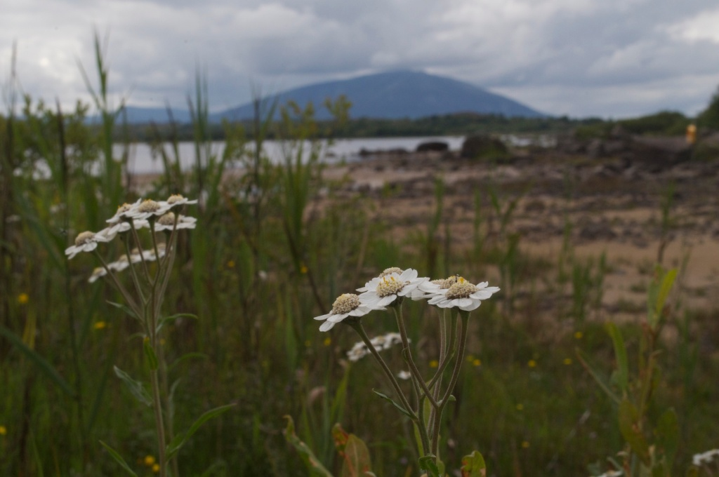 Achillea ptarmica flowering at Lough Cullin, Co. Mayo, Ireland
