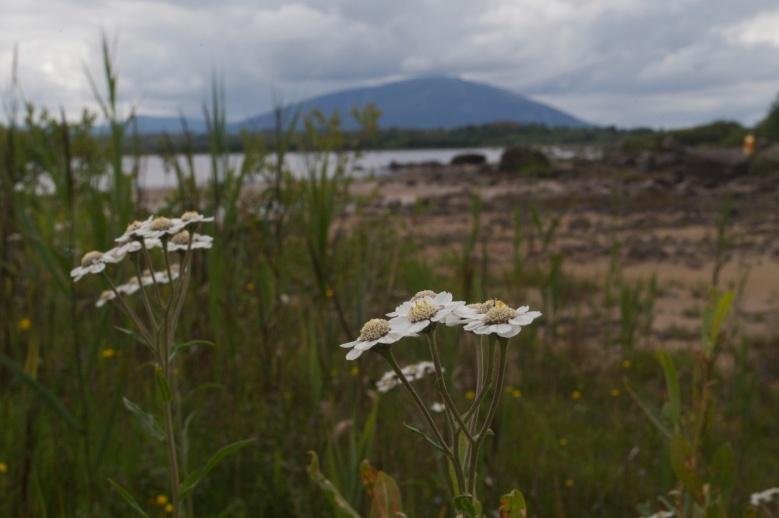 Achillea ptarmica flowering at Lough Cullin, Co. Mayo, Ireland