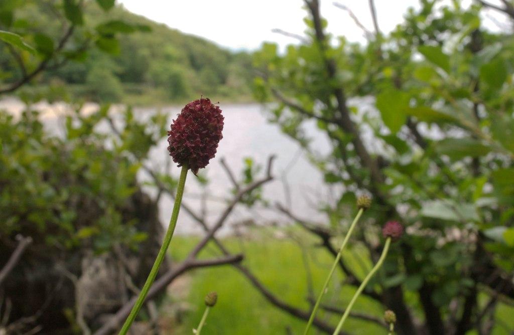 Sanguisorba officinalis growing amongst trees at Lough conn, Co. mayo, Ireland