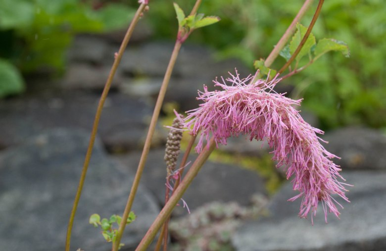 Sanguisorba obtusa flowering in our garden, it grows in a poor stoney soil