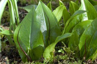 Asarum probiscidum - the mouse plant
