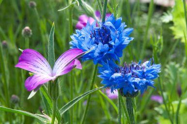 Corncockles and cornflowers