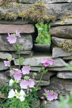 Sidalcea and stone wall