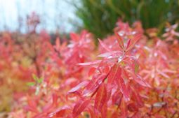 Raindrops on autumn foliage- Euphorbia nematocypha