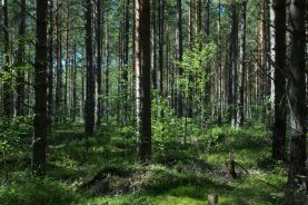 A Finnish woodland