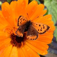 Butterfly on calendula