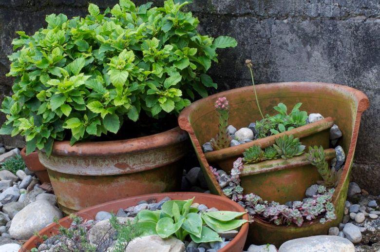 Alnus fruticosa and alpine pot